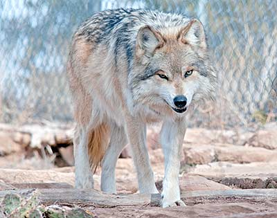 Zoo adds 2 new Mexican Grey Wolves