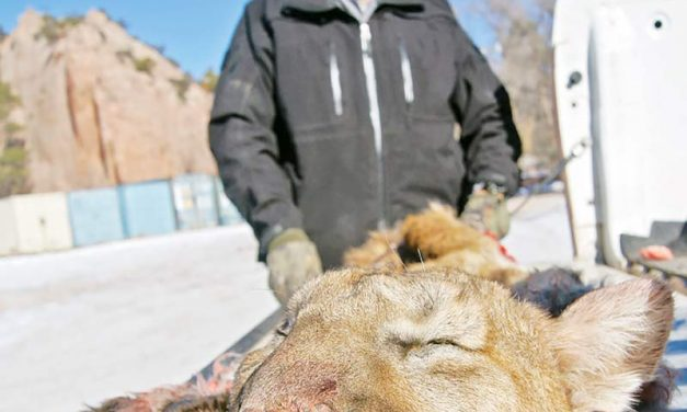 Navajo Fish and Wildlife issues last permits for cougars