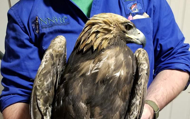Third golden eagle shot