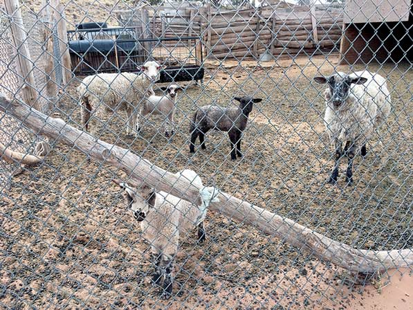 50 Years Ago: Wool market crashes; ranchers, traders reel