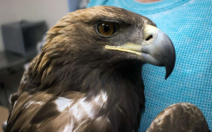 Golden eagle found shot and robbed of its tail feathers at NAPI farmland