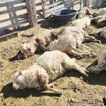 Roaming dogs kill 15 sheep in Hard Rock