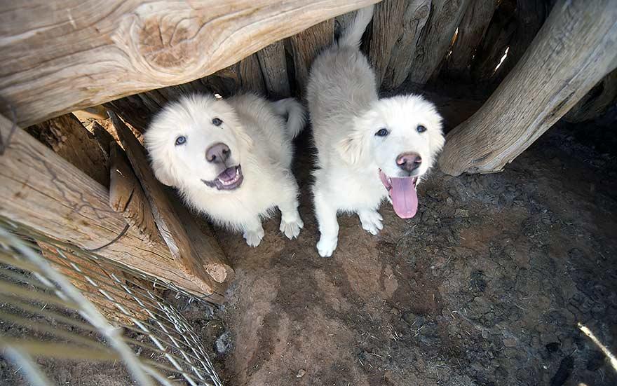 50 Years Ago: Tuba City gives low-key response to dog warning