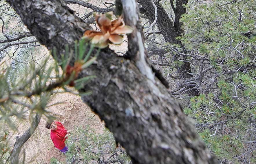 No piñons:  Beetles, drought, dying trees cause no crop this fall