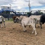 COVID turns rodeo 'stock market' bullish