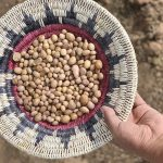 Tiny tuber 'rematriated' to Indigenous farmers