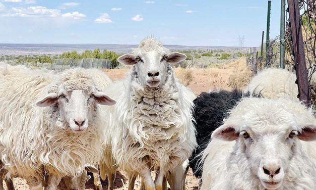 Saving shepherds: Co-op aims to help wool growers stay in business