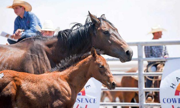 Babbitt Ranches' colt sale returns after yearlong break